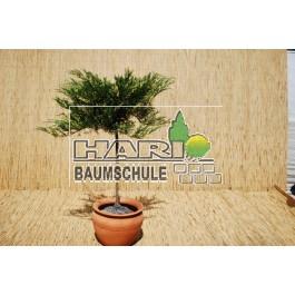 Juniperus sabina 'Variegata'