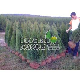 Smaragd tuja 125/135 cm
