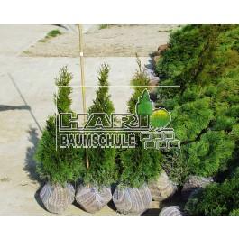 Smaragd tuja 60/80 cm