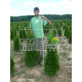Smaragd tuja 140 cm