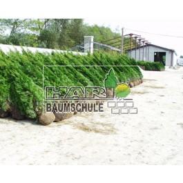 Smaragd tuja 225/240 cm