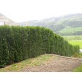 Thuja plicata 'Atrovierens' 180 cm