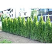 Smaragd tuja 200/225 cm