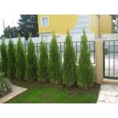 Smaragd tuja 150/160 cm