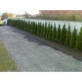 Smaragd tuja 110/125 cm