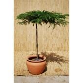 Juniperus conf. 'Schlager'