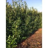 Babérmeggy (Prunus laurocerasus 'Caucasica') 220 cm KÉSZSÖVÉNY 1 folyóméter