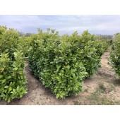 Babérmeggy (Prunus laurocerasus 'Rotundifolia') 180 cm KÉSZSÖVÉNY 1 folyóméter