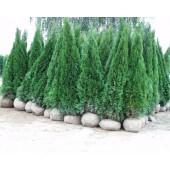 Smaragd tuja 250/300 cm